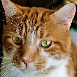 Grant by Linda    L Tatler - Animals - Cats Portraits (  )