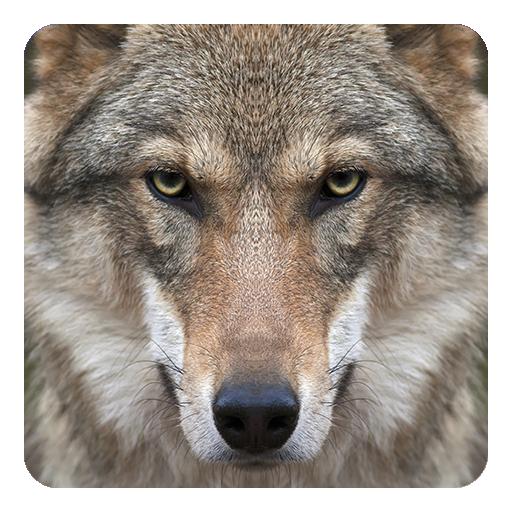 狼隊動態壁紙 個人化 App LOGO-硬是要APP