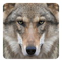 Wolf Live Wallpaper icon