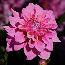 Dahlia 8651~ 1 by Raphael RaCcoon - Flowers Single Flower