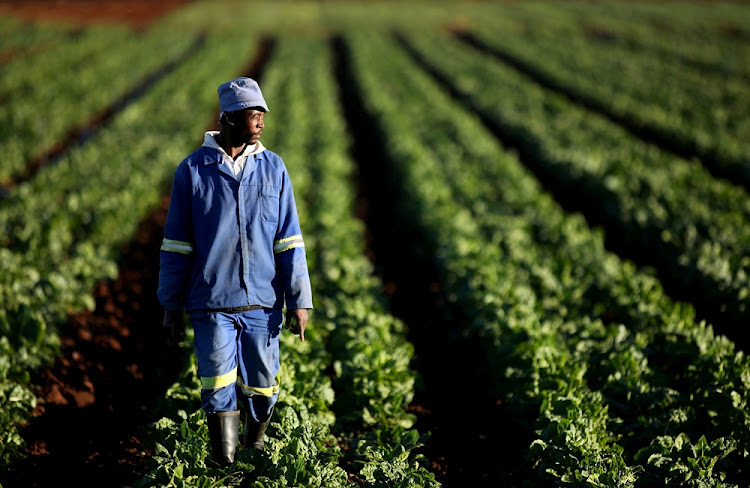 A farm worker walks between rows of vegetables at a farm. File photo.