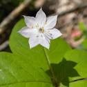 Western Star Flower