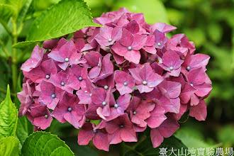 Photo: 拍攝地點: 梅峰-一平臺 拍攝植物: 繡球花 拍攝日期: 2014_07_04_FY
