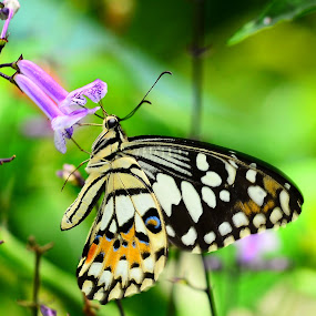 Sweet Butterfly by Azmi Jailani - Animals Insects & Spiders