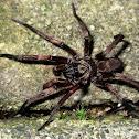 Melbourne trapdoor spider (m)