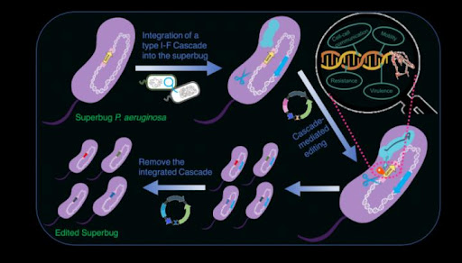HKU scientists harness the naturally abundant CRISPR-Cas system to edit superbugs with the hope of treating infections caused by drug resistant pathogens