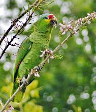Photo: Gelbwangenamazone (Amazona autumnalis, Red-lored Amazon), auch Rotstirnamazone genannt.