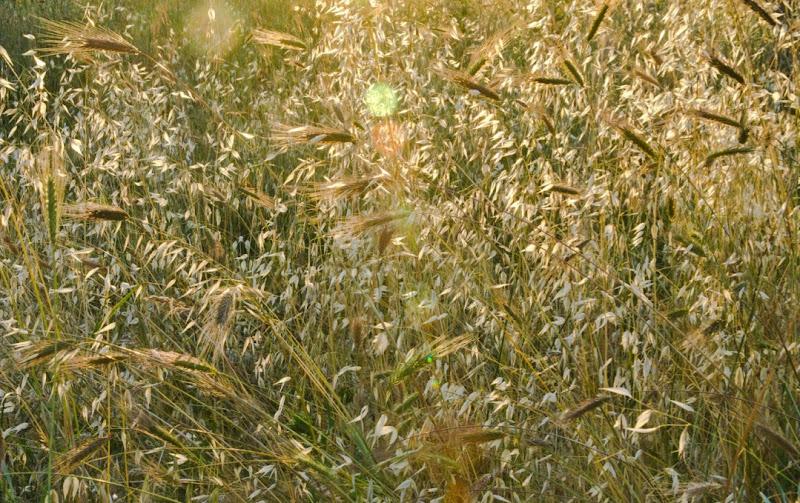 La leggerezza di un campo di grano  di FedeCametti_89