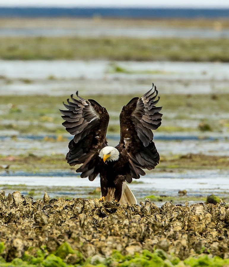 Attack eagle by Janez Žalig - Animals Birds ( napad, školjke, otok, land, assault, pristanek, lov, island, hunting shells )