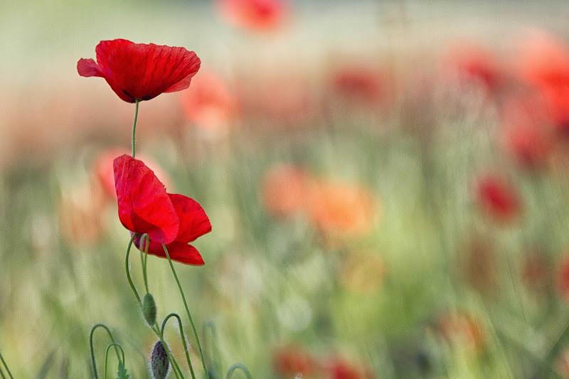i delicati  colori della primavera di antonioromei