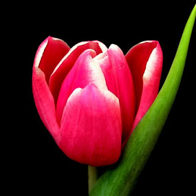 Pink Tulip by Yola Vandergunst - Nature Up Close Flowers - 2011-2013 ( bunga, keukenhof, tulip, spring, flower )
