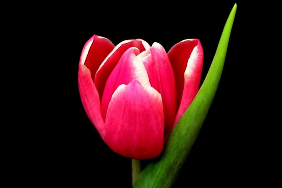 Pink Tulip by Yola Vandergunst - Nature Up Close Flowers - 2011-2013 ( bunga, keukenhof, tulip, spring, flower )