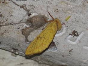 Photo: 21 Jun 13 Priorslee Avenue tunnel: This female Ghost Moth was found resting on the roof of the Priorslee Avenue foot tunnel. (Ed Wilson)