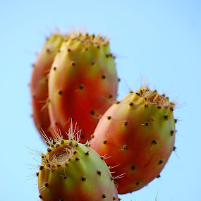 September in Cypriot garden by Pixie Simona - Nature Up Close Gardens & Produce ( prickly, prickly pear, cactus,  )