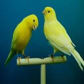 Canary Bird Sounds & Ringtones
