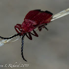 Bloody net-winged beetle