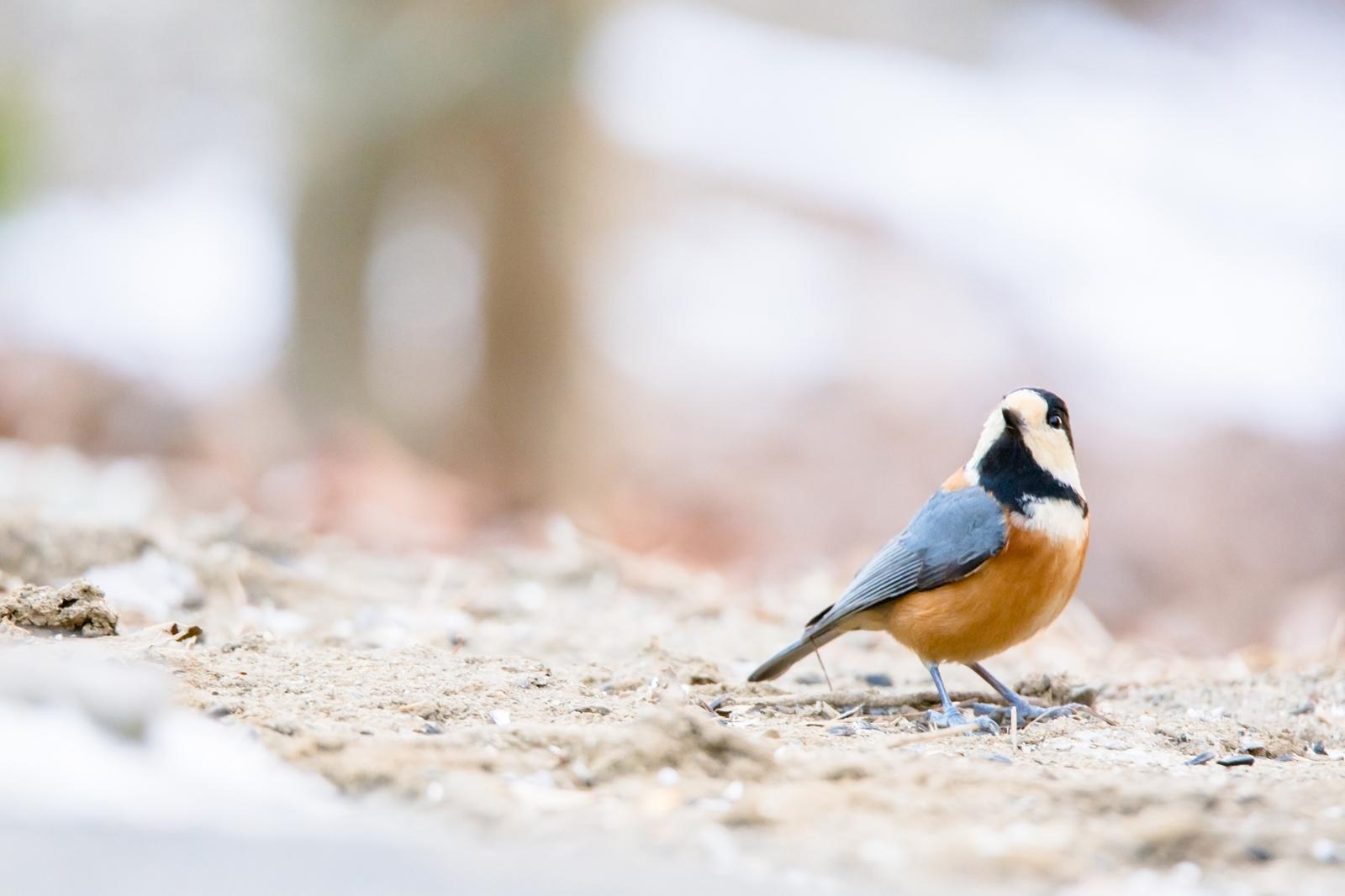 Photo: 過ぎていく静かな時 Passing silent season.  ひんやりとした空気 木々たちは眠っている 春が音を立て始める その時まで 静かに静かに過ぎて行く  Photo of Varied tit. (ヤマガラ) #cooljapan #365cooljapanmay  #birdphotography #birds #kawaii  #sigma  Nikon D7100 SIGMA 150-600mm F5-6.3 DG OS HSM Sports [ Day262, January 29th ] (2枚追加:Added 2 photo) 2枚目は表情がキリッとたまらなかったので 普段はあまりしないけどトリミングしてます♪  小鳥の詩朗読 http://youtu.be/7YGRPklxBfs?list=PL2YtHGm0-R3qVsaqvQe9OYdJFCkI98wzF