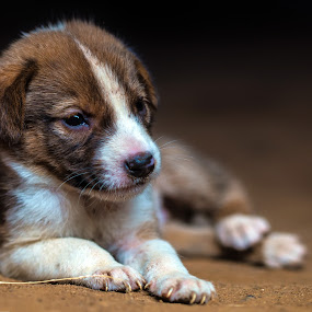 no name by BO LED - Animals - Dogs Puppies ( white, young, animal, brown, portrait, dog,  )