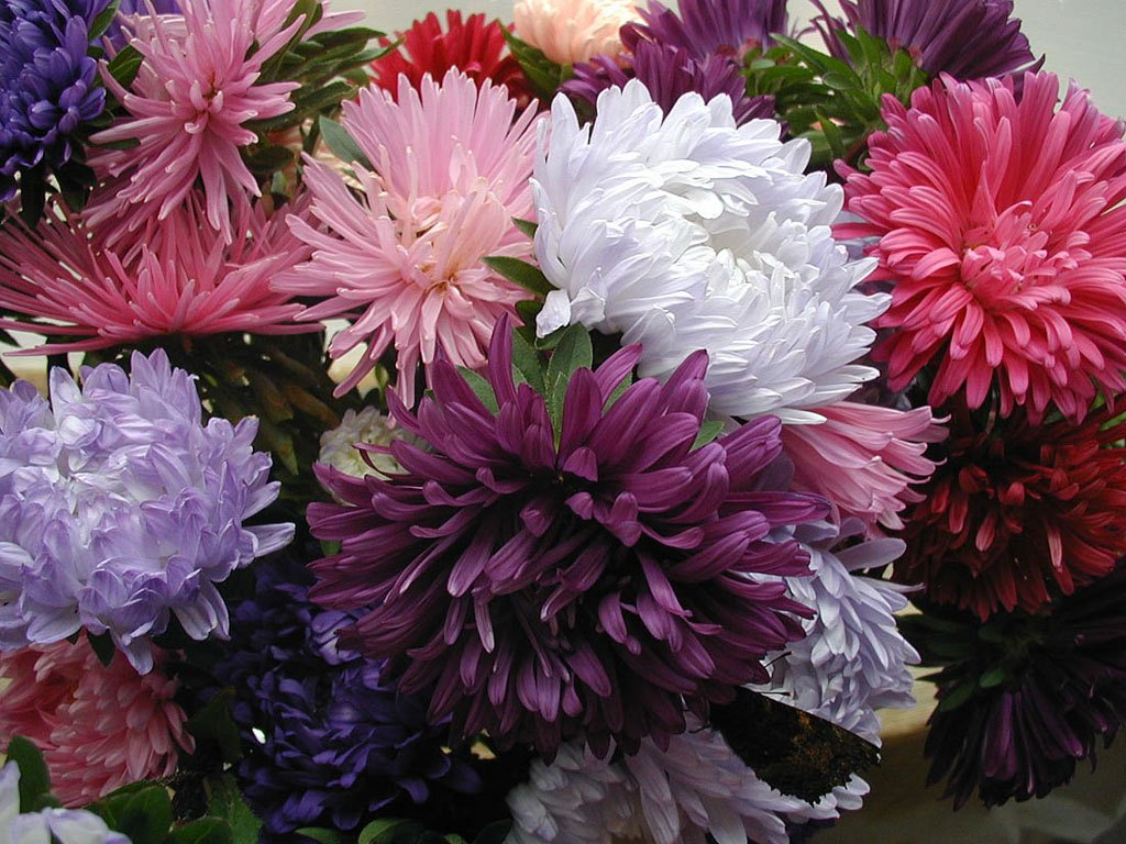 Выращиваем астры правильно: несколько простых советов для посадки цветов