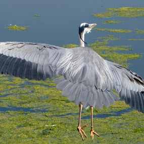 Heron in flight by Tristram Heald - Animals Birds