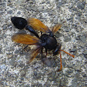Black Potter Wasp