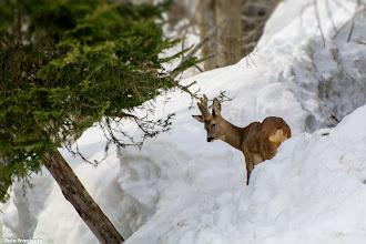 Photo: C'è anche il maschio con le corna vellutate.