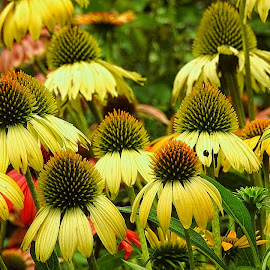 Coneflowers in yellow by Mary Gallo - Flowers Flower Gardens ( nature up clsoe, nature, coneflowers, yellow, flower garden,  )