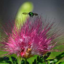 Look at bee by Ruth Overmyer - Flowers Single Flower