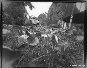 """Photo: Daisy in the grass. 5""""x4"""" flat paper negative, 30 min, 55mm focal length"""