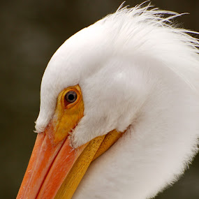 by Stephanie Ostrander Bishop - Animals Birds ( stork, wildlife, birds )