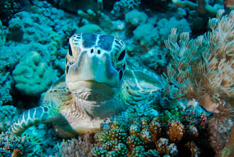 Photo: Green Turtle, Layang Layang, Borneo