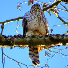 Photo: Cooper's Hawk http://www.allaboutbirds.org/guide/coopers_hawk/id#