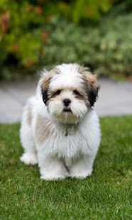 shih tzu wallpaper  Shih Tzu wallpaper - Apps on Google Play
