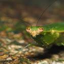 Odontomantis planiceps