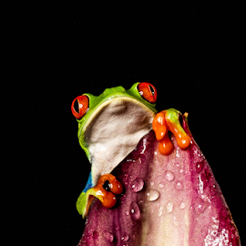 Tree frog by Garry Chisholm - Animals Amphibians ( macro, nature, tree frog, amphibian, garry chisholm )