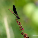 Copper Demoiselle