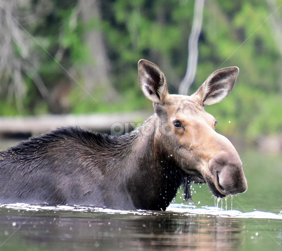 Moose Watch by Deanna Clark - Animals Other (  )