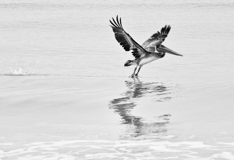 Photo: Brown pelican. Marco Island, Florida