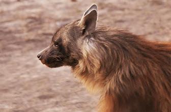 Photo: Brown Hyena