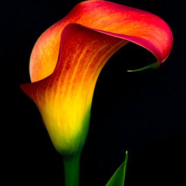 Irie by Mark Ritter - Flowers Single Flower ( floral, macro, color, closeup, flora, lily, garden, flower,  )