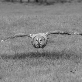 Owl by Garry Chisholm - Black & White Animals ( raptor, owl, bird of prey, nature, garry chisholm )