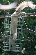 Photo: Chickadee who's a bit miffed with the squirrel in the feeder