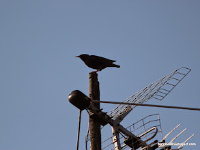 Photo: Aerial Romance 5...Starling, the Interloper
