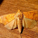 Cotton Looper Moth