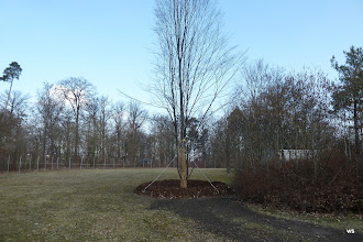 Photo: dornhaldenfriedhof / vermutlich ersatzbaum
