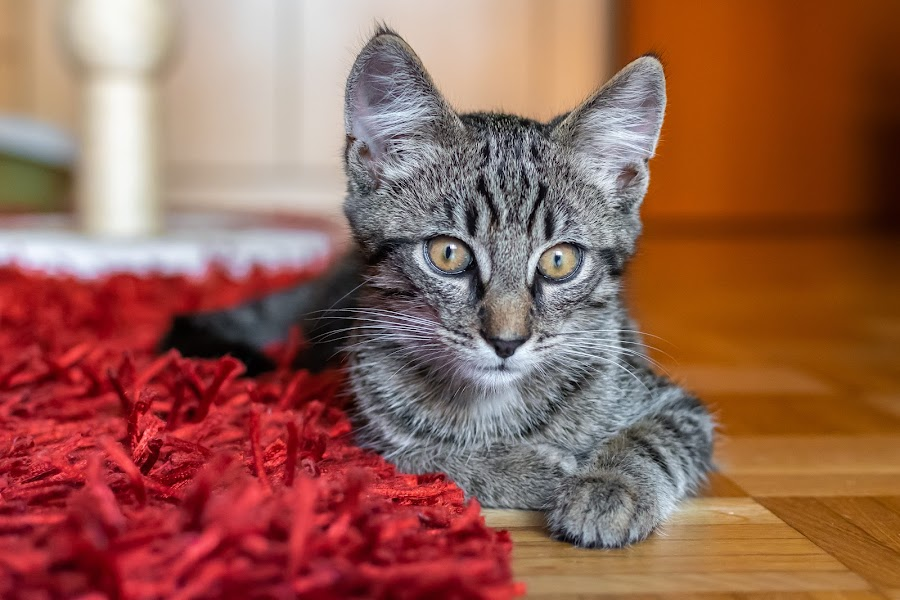 Boby by Andrej Kozelj - Animals - Cats Portraits ( cats, kitten, cat, animal, pet )