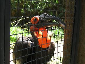 Photo: Кафрский рогатый ворон (Bucorvus leadbeateri)