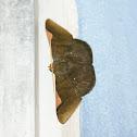Hübner's Olive Moth / Polilla Oliva