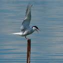 Charrán común (Common tern)