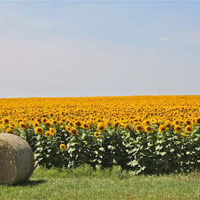 Hay, Sunflowers by J.c. Phelps - Landscapes Prairies, Meadows & Fields